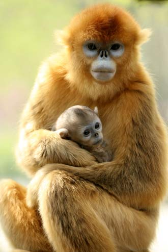 Baby golden monkey