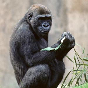 Genome shows humans more gorilla-like than thought