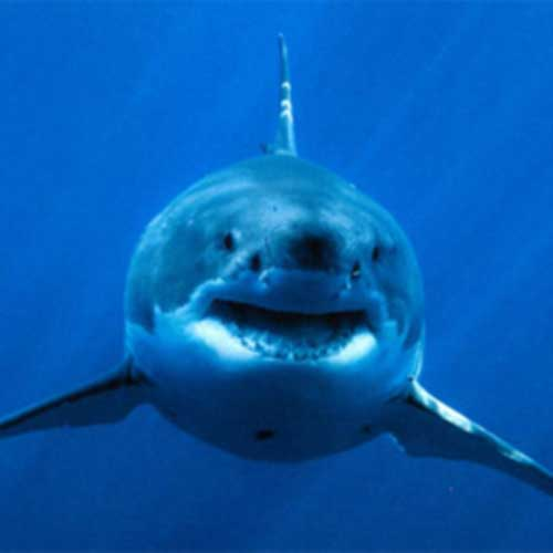 Deadly Shark Bites Increase in Waters Near Western Australia