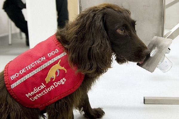Dogs Being Trained to Detect Cancer