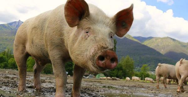 全球最大猪肉生产商计划供应猪器官给人类做器官移植