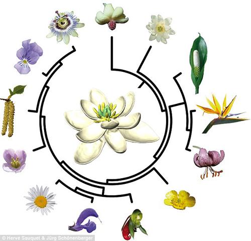 """花朵""""始祖""""长啥样?像白莲花和白百合结合体"""