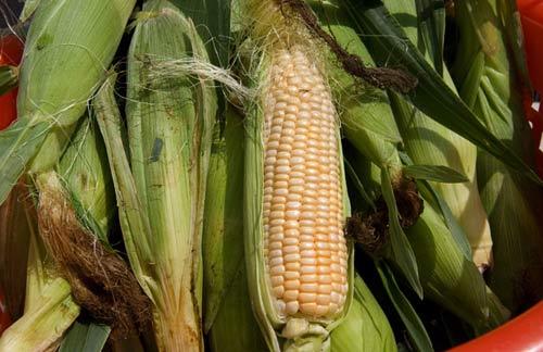 研究揭露转基因玉米含大量毒素