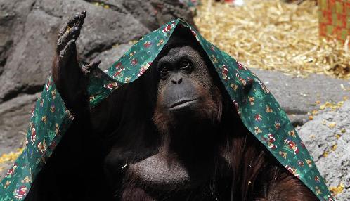 阿根廷法院判定猩猩有人权 应有自由