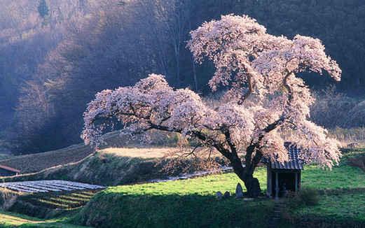席慕容:一棵开花的树(中英对照)